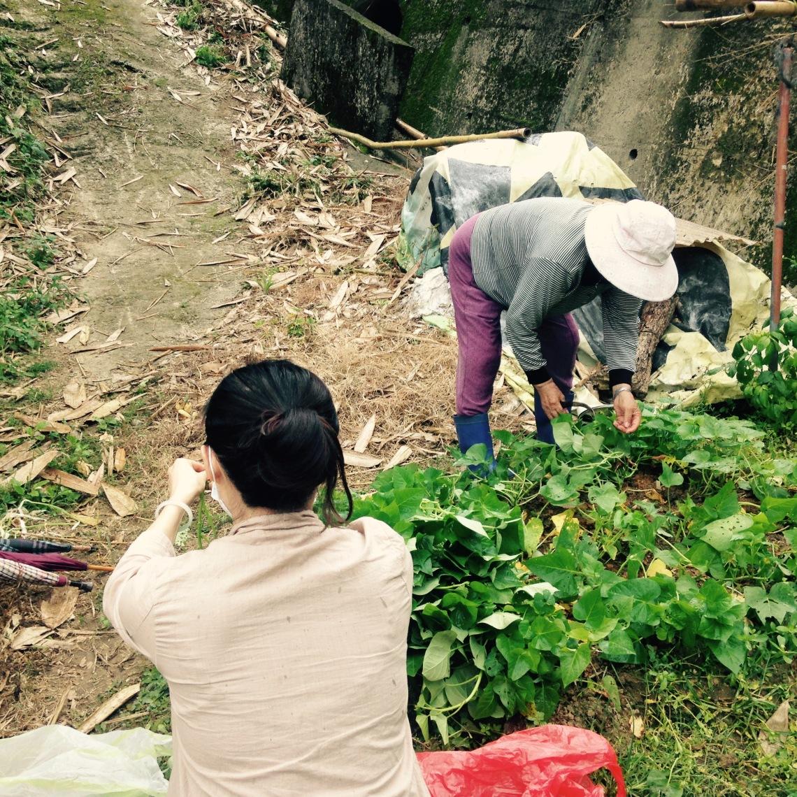 4以往客家人耕種維生,圖為外婆的菜園。