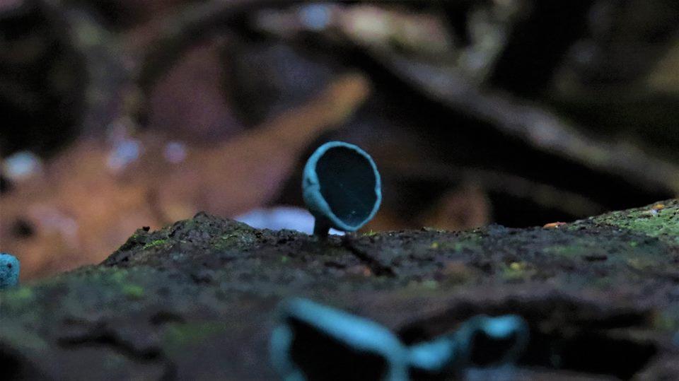 小孢綠杯盤菌1