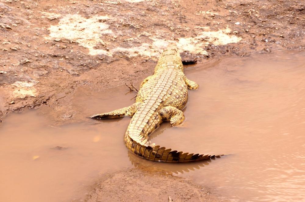 很漂亮的鱷魚