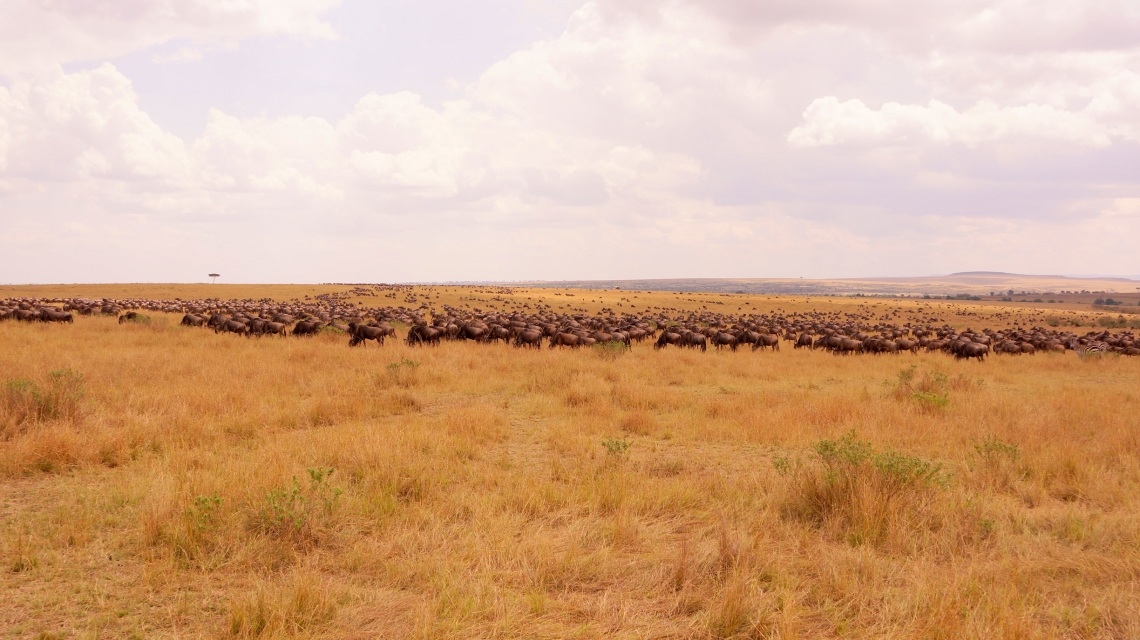 動物大遷徙就是整片的牛羚