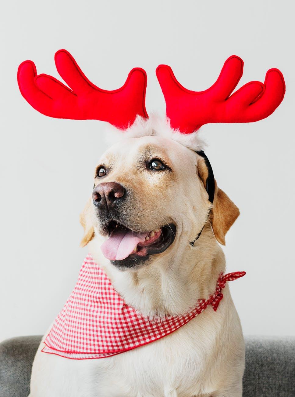 animal bandana canine close up